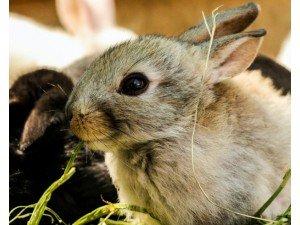 Tavşanlarda Kemirme Taşı Kullanımı