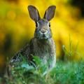 Tavşan / Guinea Pig