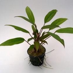 Aglaonema Simplex Saksı Canlı Bitki