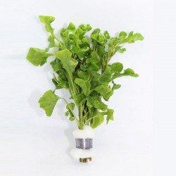 Alternanthera Bettzickiana Green Saksı Canlı Bitki