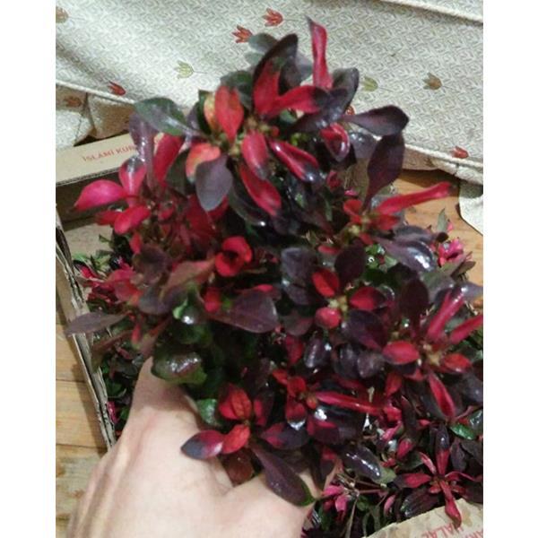 Alternanthera Btz Water Rose Saksı Canlı Bitki