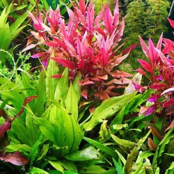 Alternanthera Reineckii Saksı Canlı Bitki