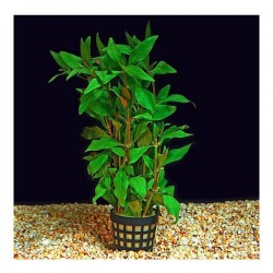 Alternanthera Reineckii Green Saksı Canlı Bitki