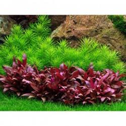 Alternanthera Reineckii Mini Saksı Canlı Bitki