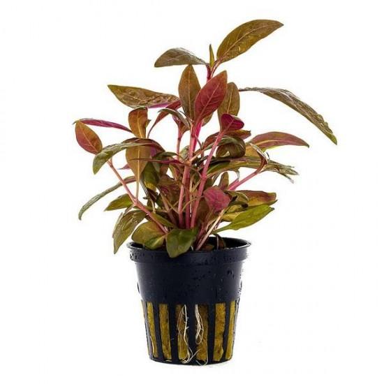 Alternanthera Rosaefolia Saksı Canlı Bitki