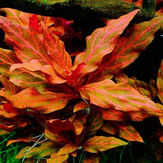Alternanthera Rosanervig Saksı Canlı Bitki
