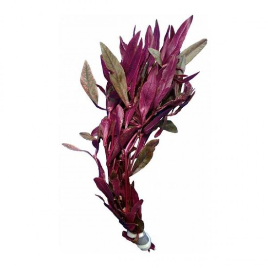 Alternanthera Sessilis Saksı Canlı Bitki