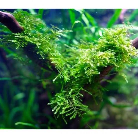 Anchor Moss Yeni Sarım Canlı Bitki 5x5 Cm
