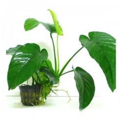 Anubias Barteri 5-6 Yapraklı Kök Canlı Bitki