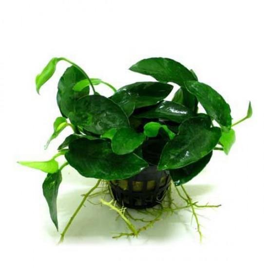 Anubias Barteri L216 5-6 Yapraklı Kök Canlı Bitki