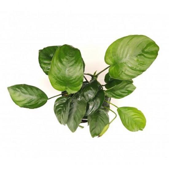 Dev Anubias Barteri 5-6 Yapraklı XL Kök Canlı Bitki