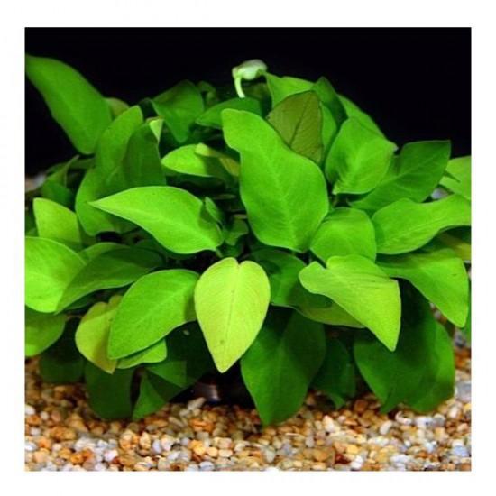Anubias Barteri V. 5-6 Yapraklı Kök Canlı Bitki