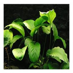 Anubias Barteri Var 5-6 Yapraklı XL Canlı Bitki