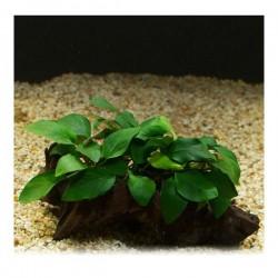 Anubias Barteri Var 5-6 Yapraklı Kök Canlı Bitki