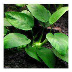 Anubias Barteri Var. Barteri (L) 5-6 Yapraklı Kök Canlı Bitki