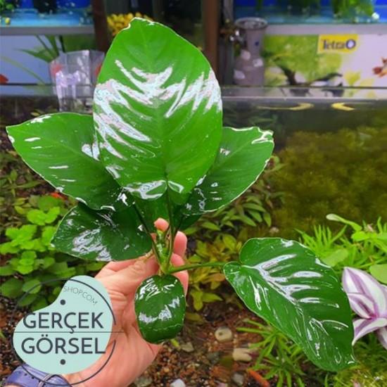 Anubias Broad Leaf 6-7 Yapraklı Canlı Bitki L