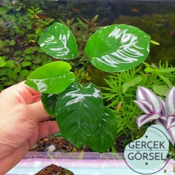 Anubias Broad Leaf 6-7 Yapraklı Canlı Bitki M