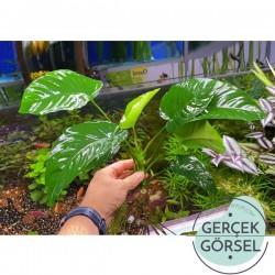 Anubias Broad Leaf 6-8 Yapraklı Canlı Bitki XL