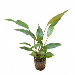 Anubias Lanceolata 5-8 Yapraklı Kök Canlı Bitki