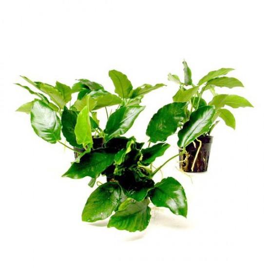 Anubias Nana 5-6 Yapraklı Canlı Bitki
