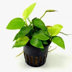 Anubias Nana Gold 6-7 Yapraklı Canlı Bitki