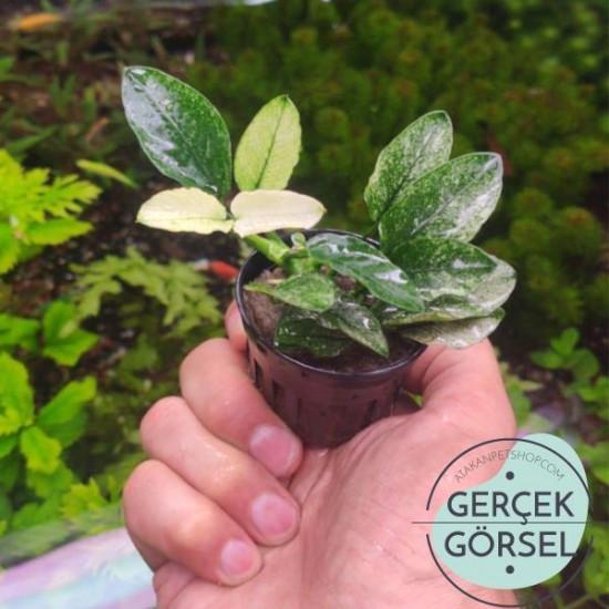 Anubias Nana Pinto Saksı Canlı Bitki