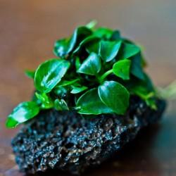 Anubias Petite Saksı Canlı Bitki