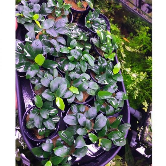 Anubias Petite Saksı Canlı Bitki New
