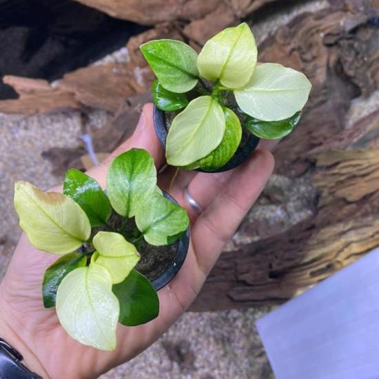 Anubias Sp Broad White Saksı Canlı Bitki