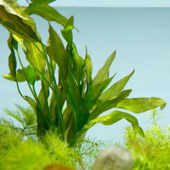 Aponogeton Crispus Saksı Canlı Bitki