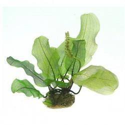 Aponogeton Madagascariensis Soğan Canlı Bitki