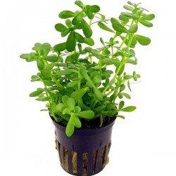 Bacopa Monnieri Saksı Canlı Bitki