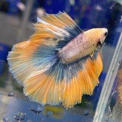 Betta Balığı Gerçek Görsel No:16