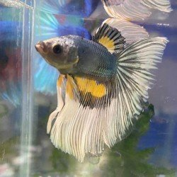Betta Balığı Gerçek Görsel No:9