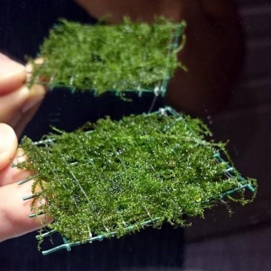 Bubble Moss Tele Sarılı 5x5Cm Yeni Sarım Canlı Bitki