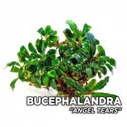 Bucephalandra Angel Tears Saksı Canlı Bitki