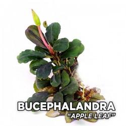 Bucephalandra Apple Leaf Saksı Canlı Bitki