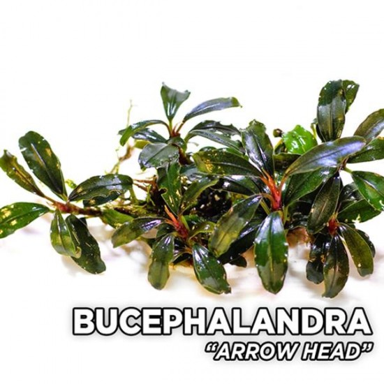 Bucephalandra Arrow Head Saksı Canlı Bitki