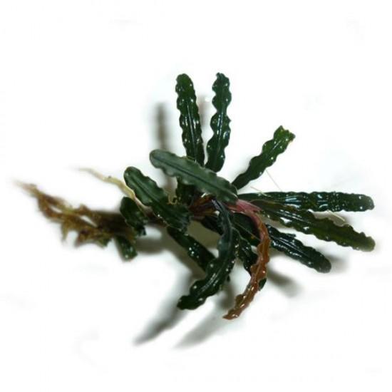 Bucephalandra Belindae Saksı Canlı Bitki
