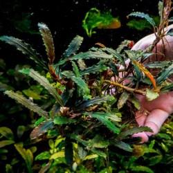 Bucephalandra Biblis Sky Blue Saksı Canlı Bitki