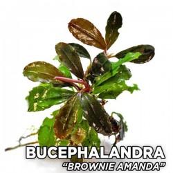 Bucephalandra Brownie Amanda Saksı Canlı Bitki