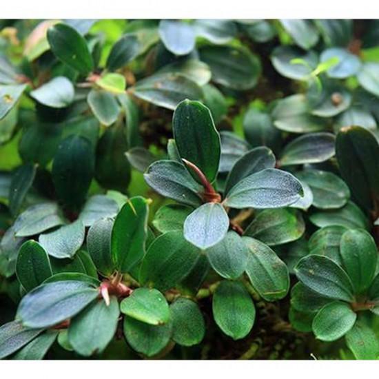 Bucephalandra Brownie Blue Saksı Canlı Bitki