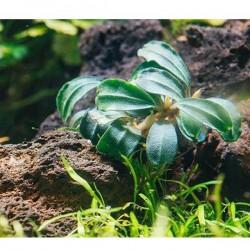 Bucephalandra Brownie Phoenix Saksı Canlı Bitki