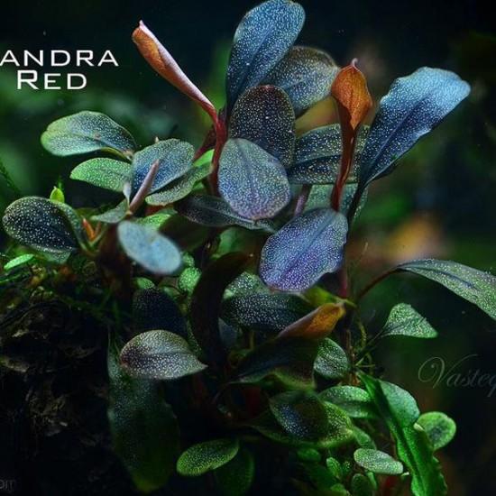 Bucephalandra Brownie Red Saksı Canlı Bitki