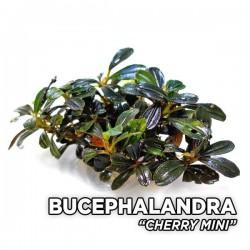 Bucephalandra Cherry Saksı Canlı Bitki