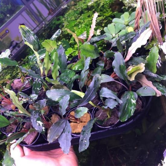 Bucephalandra Giant Saksı Canlı Bitki