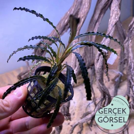 Bucephalandra Giant Velvet Saksı Canlı Bitki