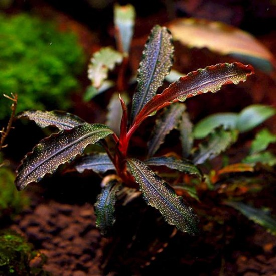 Bucephalandra Godzilla Kedagang Red Saksı Canlı Bitki