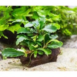 Bucephalandra Green Way Saksı Canlı Bitki
