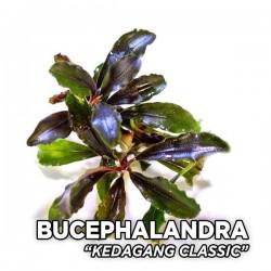 Bucephalandra Kedagang Classic Saksı Canlı Bitki